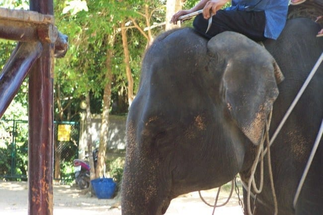 Elephant Koh Samui, Thailand