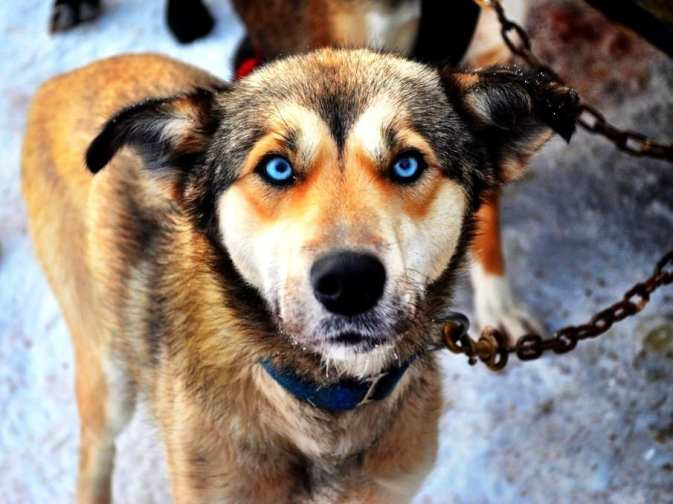 Canadian sled dog
