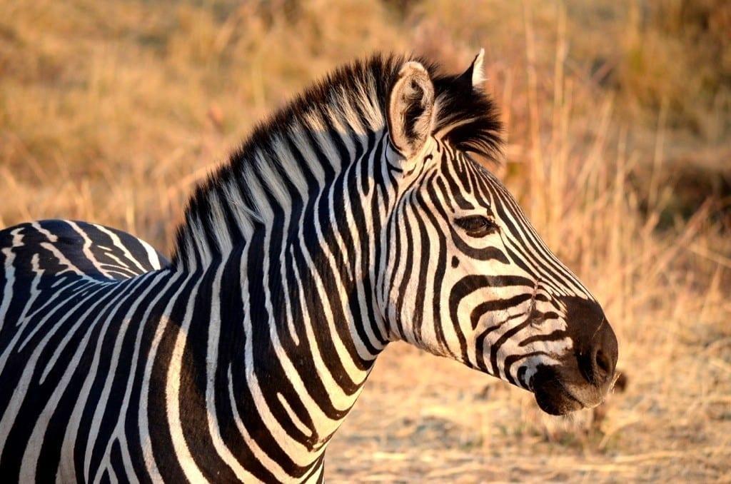 Zebra Victoria Falls Private Game Reserve, Zimbabwe