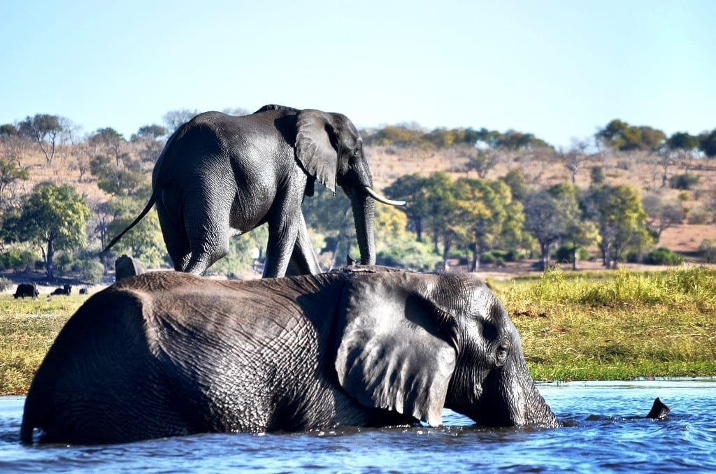 Two elephants, Botswana