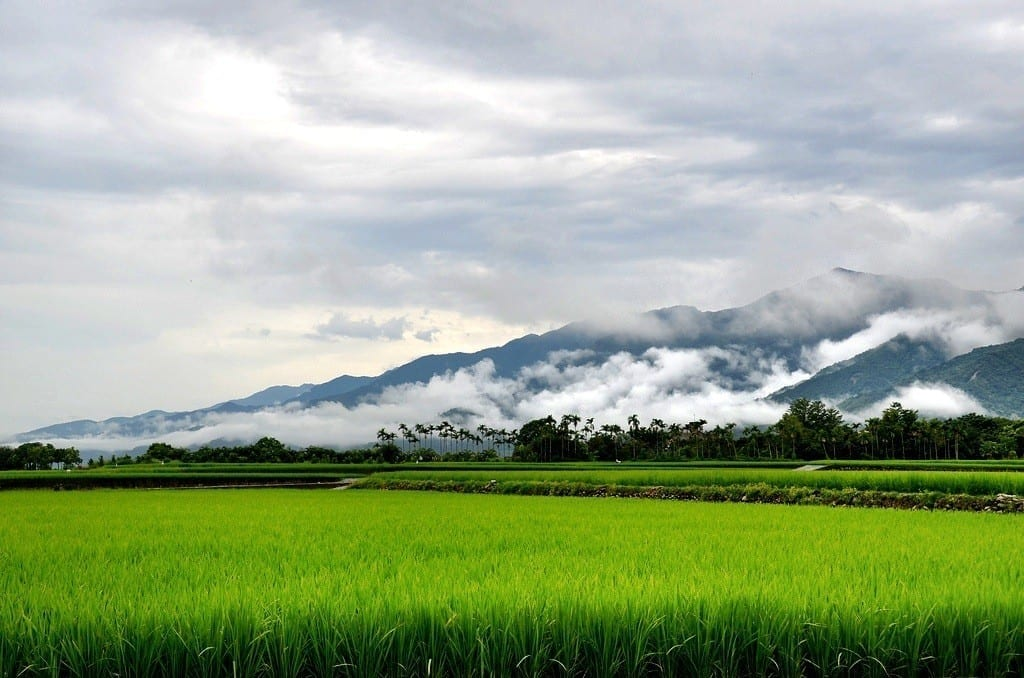 Taiwan rice paddy