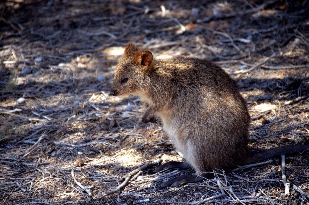 photo Quokka
