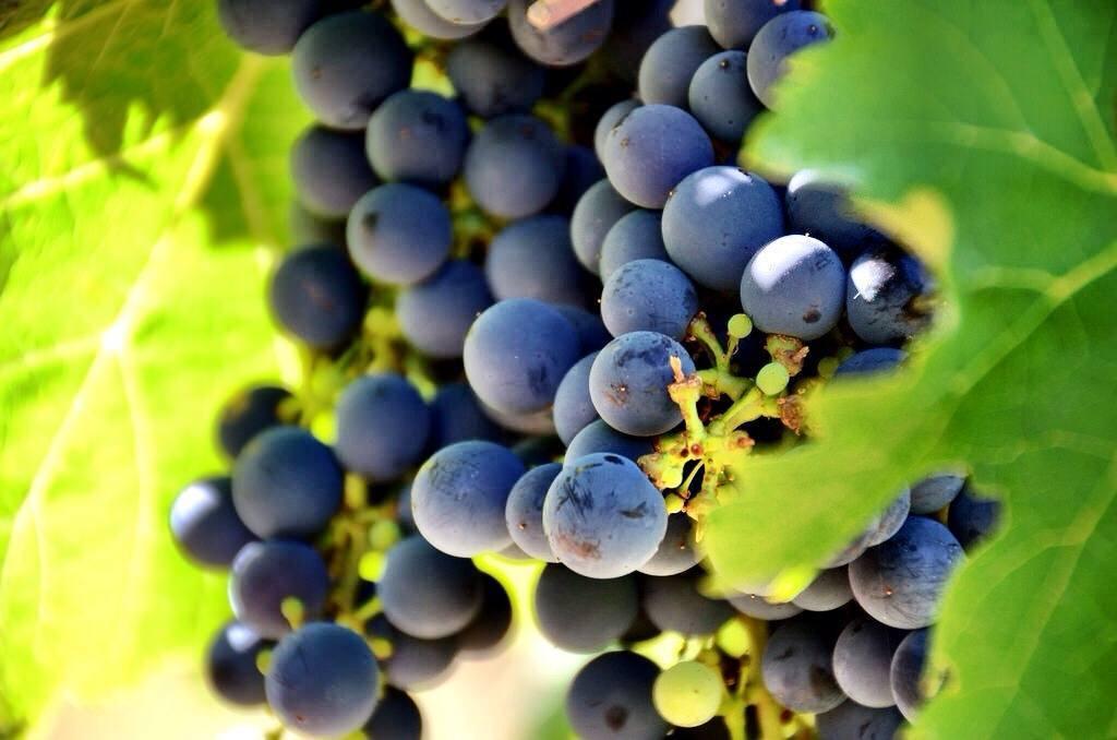 Wine grapes margaret river Australia