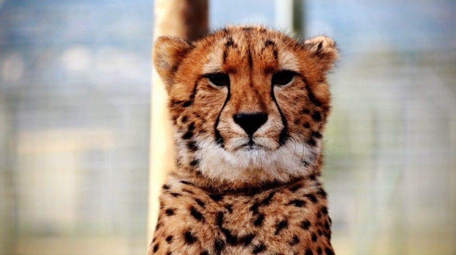 South Africa Cheetah