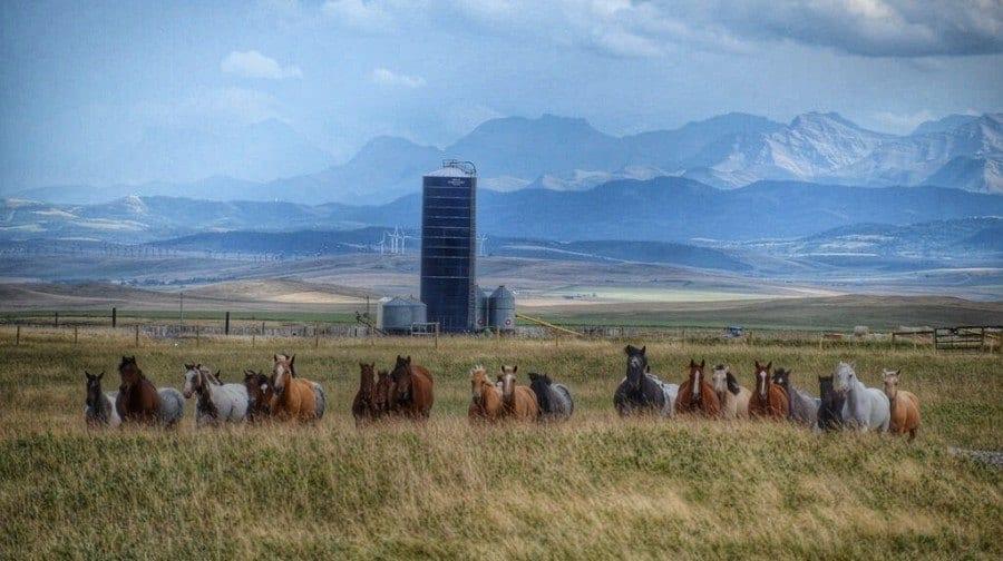 Horses Alberta Canada