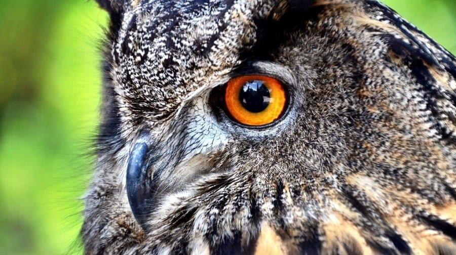 Owl Croatia