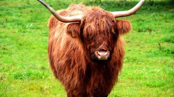 Highland Cow Scotland UK