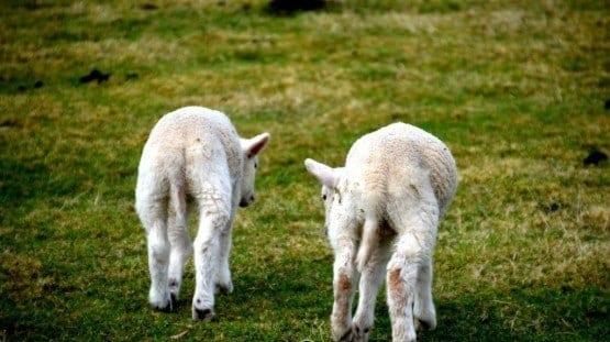 Lamb Sheep Sweden
