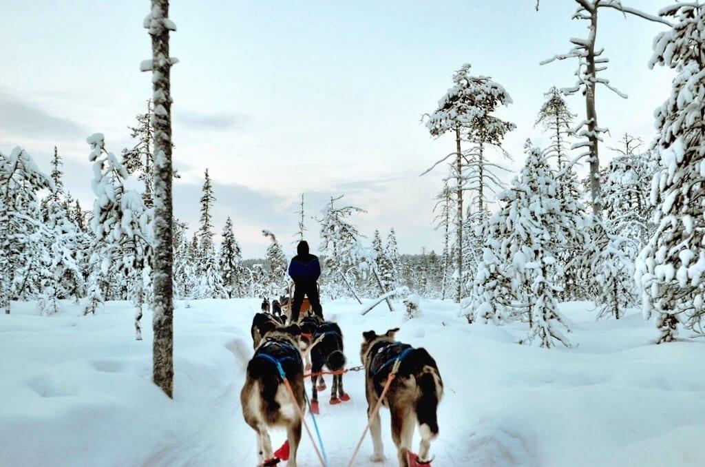 Dog Sled Finland Lapland