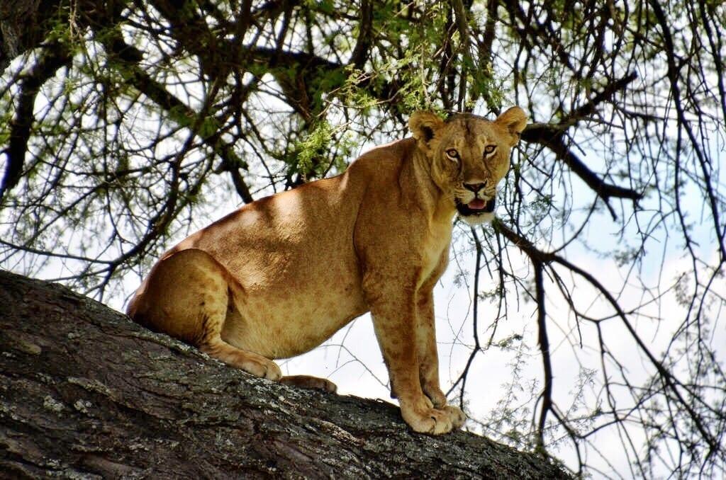 Lion Tarangire Tanzania