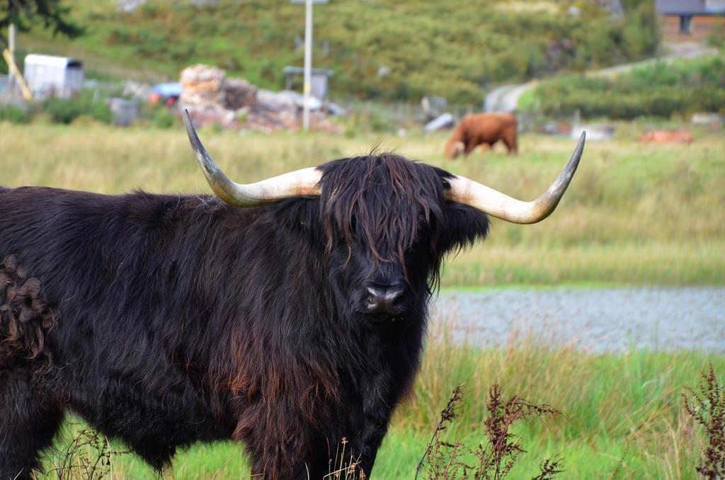 Highland Cow Scotland UK